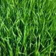 Royalty-Free Stock Photo: Background of a wet green grass