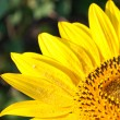 Bright yellow sunflower - Stock Photo