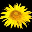 Yellow sunflower isolated on black — Stock Photo