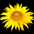 Stock Photo: Yellow sunflower isolated on black
