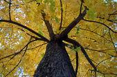 żółte liście na drzewie klon — Zdjęcie stockowe