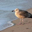 Seagull on the seashore — Photo