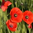 Red poppy in the green field — Stock Photo