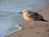 Seagull on the seashore — Stock Photo