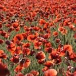 Beautiful red poppies field — Stock Photo