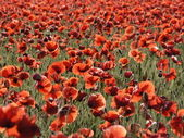 Beautiful red poppies field — Stock Photo