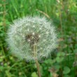 Stock Photo: White fluffy dandelion
