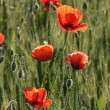 Stock Photo: Red poppies in green field