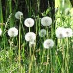 White dandelions in green grass — Stock Photo #1226143