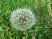 White fluffy dandelion — Stock Photo