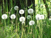 White dandelions in green grass — Stock Photo