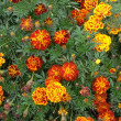 Tagetes flowers background — Stock Photo