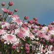 Stock Photo: Pink chrysanthemum background