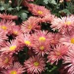 Pink chrysanthemum background — Stock Photo #1274329