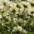 White chrysanthemum background — Stock Photo