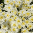 Stock Photo: White chrysanthemum background