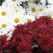 Red chrysanthemum and white camomiles — Stock Photo