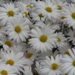 Beautiful camomile background — Stock Photo
