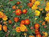 Tagetes flowers background — Stock Photo