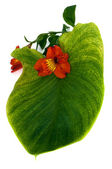 Red orchid in green leaf — Stock Photo