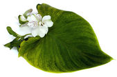 Tender orchid with green leaf — Stock Photo