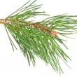 Branch  pine — Stock Photo