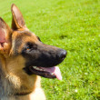 Foto Stock: Germshepherd