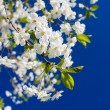 Blossom apple tree - Stock Photo