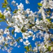 Blossom apple-tree - Stock Photo