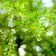 Firtree — Stock Photo #1032578