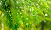 Droplets of rain on the fir-tree needles — Stock Photo