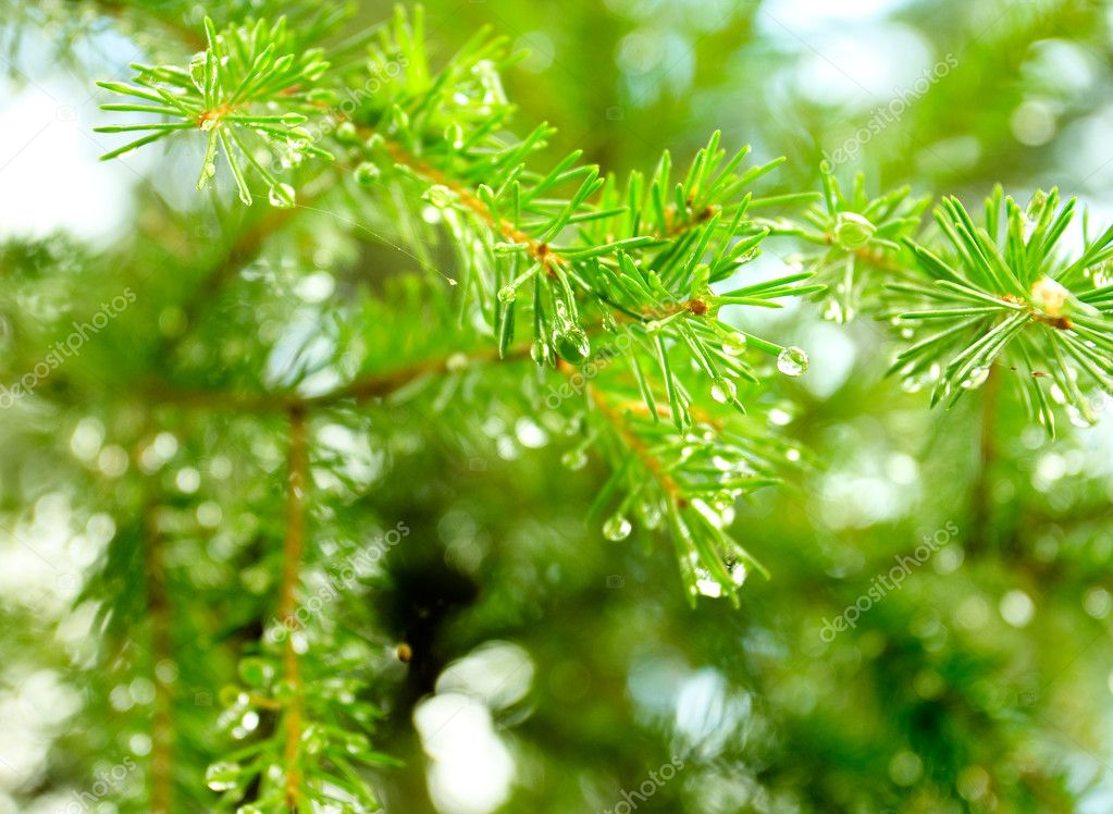 Droplets of rain on the fir-tree needles — Stock Photo #1032578