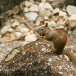 Eating Squirrel in Yosemite — Stock Photo #1040308