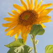 Sunflower on a field against blue sky - Stock Photo