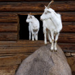 Goat and the kid — Stock Photo