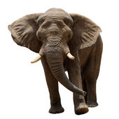 Elephant — Stock Photo