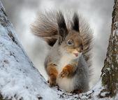 Lo scoiattolo — Foto Stock