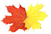 Maple leaves, large DoF — Stock Photo