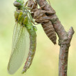 Birth of a dragonfly (series 5 photos) — Stock Photo