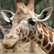 Giraffe. — Stock Photo #1013892