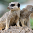 Suricata — Stock Photo