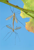 Two mosquitoes — Stock Photo