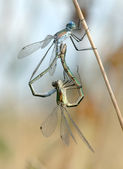 Two dragonflies — Stock Photo