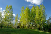 Rural landscape with birches — Stock Photo