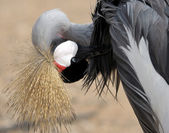 Crowned Crane cleaning feathers. — Stock Photo