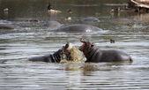 Hippopotami - rivals. — Stock Photo