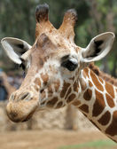 Giraffe. — Stock Photo
