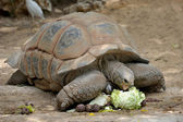 Gigantskoya turtle at the zoo for a meal — Stock Photo