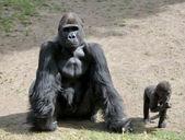 Goril — Stok fotoğraf