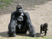 Gorila — Foto de Stock